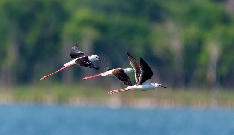 Group of black-winged stilt or Himantopus himantopus fly over water