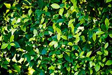 Leafy_228x152.jpg